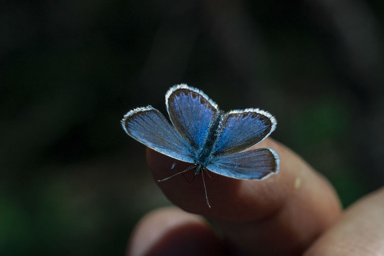 Close-up of hand holding blue butterfly