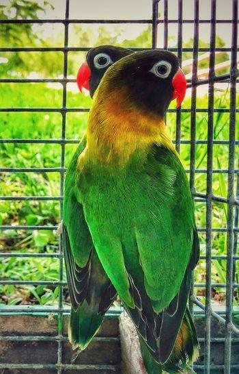 Birds Cute Couple Parrots
