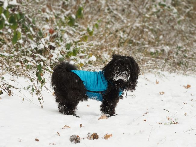 One Animal Animal Themes Domestic Domestic Animals Mammal Animal Pets Snow Canine Dog Cold Temperature Winter Vertebrate Land Field No People Nature Day Black Color Small