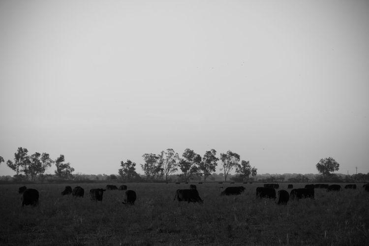 Flock of sheep on field against sky