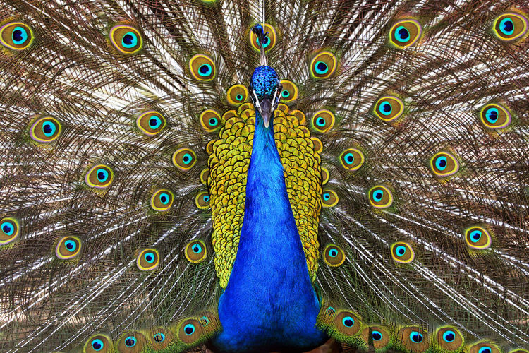 Backgrounds Beauty Mindmap Nature Outdoors Pavoreal Peacock