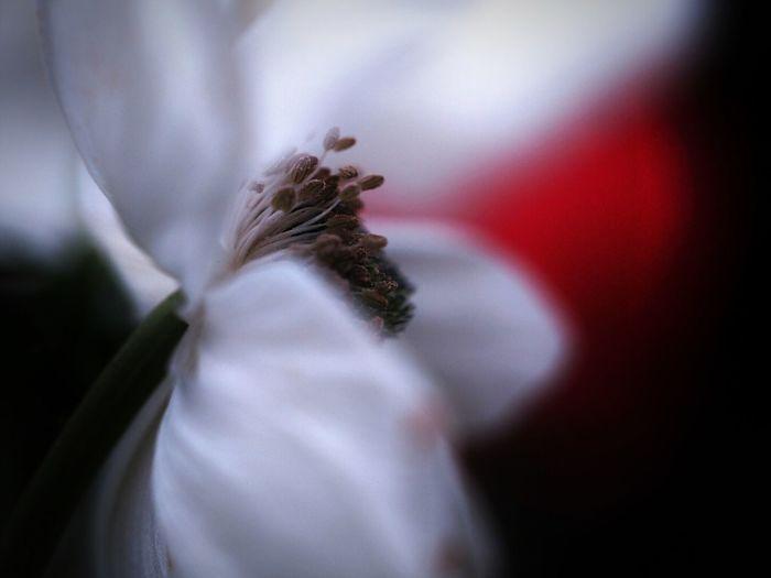アネモネ Anemone Light And Shadow OlympusPEN Spring Flowers Macro_collection