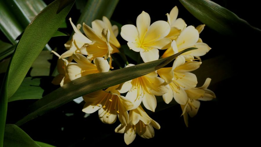 Clivia Flower Petal Yellow Fragility Flower Head Close-up Freshness Leaf Growth Plant Botany Nature Beauty In Nature in University Of Western Australia