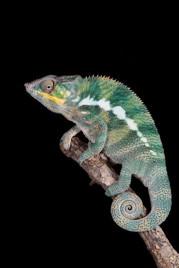 Black Background Branch Chameleon Close-up Lizard Multi Colored Panther Chameleon Perching Profile View Reptile Side View Studio Shot