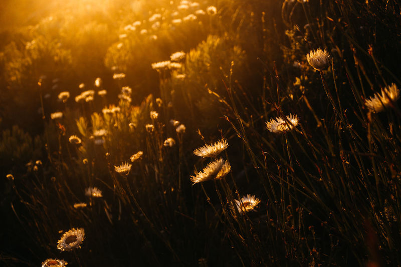 Close-up of flowering plants on field during sunset