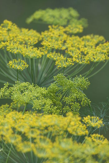 Beauty In Nature Blooming Close-up Day Dill Field Flower Fragility Freshness Green Color Growth Nature No People Outdoors Plant Selective Focus Yellow