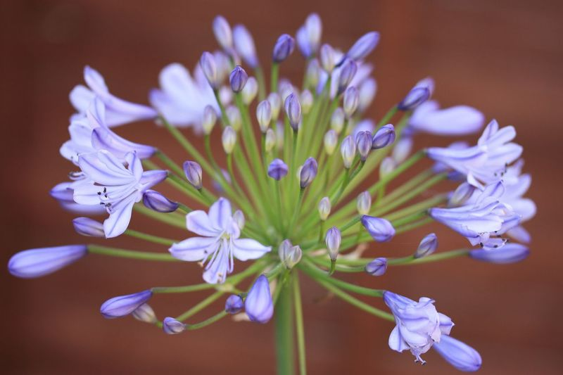 Agapanthus Flower EyeEm Selects Flowering Plant Flower Plant Freshness Fragility Beauty In Nature Flower Head Close-up Growth Nature No People Focus On Foreground Purple Selective Focus