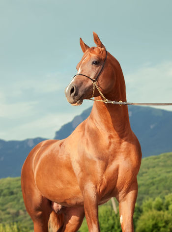 Agriculture Animal Animal Themes Brown Close-up Cloud - Sky Day Domestic Animals Hoofed Mammal Horse Horse Racing Jockey Mammal Mane One Animal Outdoors Riding Saddle Sky