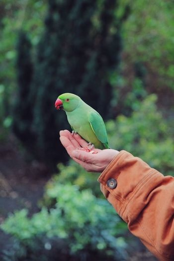 Cropped hand holding parrot against trees in forest