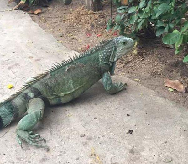 iguana colombiana