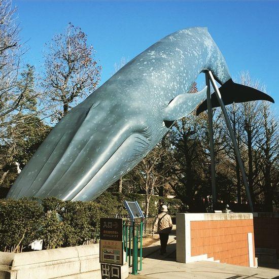 上野 上野公園 国立科学博物館 くじら これもわかりやすいね?クジラ〜?