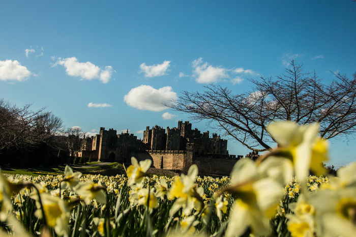Alnwick Alnwick Castle Alnwickcastle Architecture Beauty In Nature Building Exterior Built Structure Cloud - Sky Daffodils Daffodils Flowers Day Flower Focus On Background Growth Nature No People Northumberland Outdoors Sky Tree