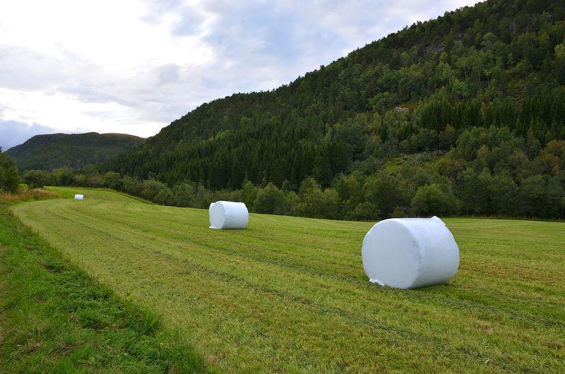 Big White Grass