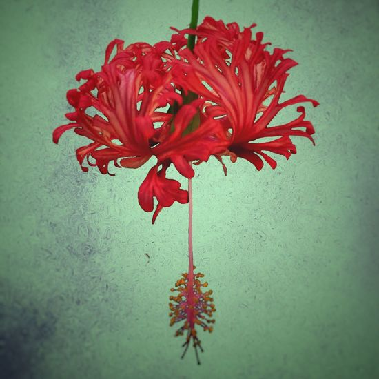 Superimposed hibiscus Hibiscus Hibiscus Flower Still Life Photography Flower Abstract Flower Still Life Superimpose