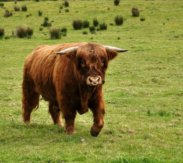 Portrait of highland cow on field