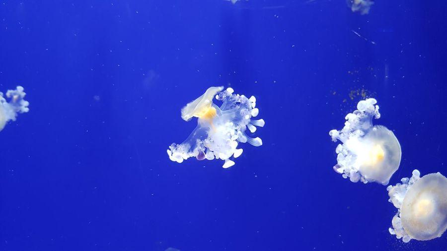 Jellyfish Blue Sea Life Water Acqurium Beauty In Nature Animal Themes Animal Wildlife UnderSea Underwater First Eyeem Photo