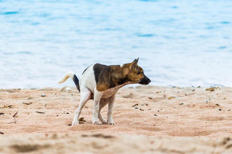 Animal Animal Themes Beach Canine Day Dog Domestic Domestic Animals Excrete Land Mammal Motion Nature No People One Animal Pets Purebred Dog Sand Sea Vertebrate Water