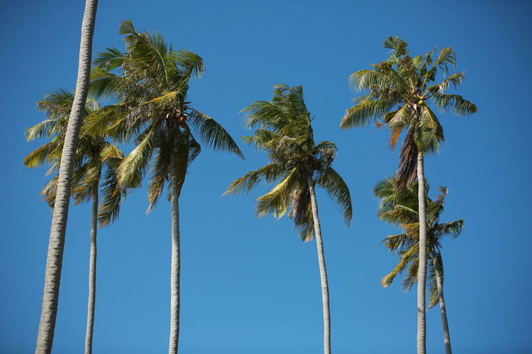 Low angle view of coconut palm trees against clear blue sky