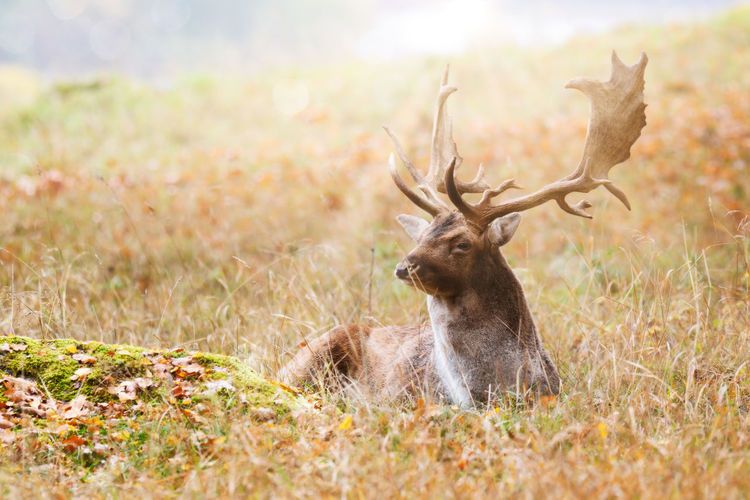 stag, buck, deep in autumn Herbivorous Landscape Outdoors Land Field Selective Focus Day Vertebrate Nature No People Deer Grass Plant Antler One Animal Mammal Animals In The Wild Animal Wildlife Animal Animal Themes Stag Buck Fall Autumn