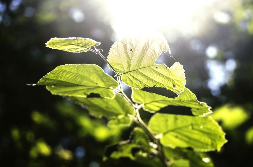 Nature Photography Leafs Forest Trees Sunlight Backlight EyeEm Nature Lover Klaquax@home