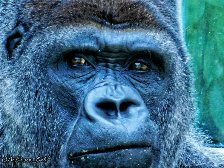 The Silver-back Gorilla. EyeEm Gallery EyeEm Nature Lover Gorilla Nature_collection Portrait Check This Out EyeEm Best Shots Nature Nikon Simple Beauty Hope Silverback Gorilla Zoology Picoftheday Animal Animals