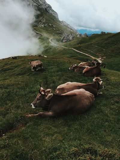 Grass Nature Field Animal Themes Mammal Domestic Animals Livestock Pilatus Cow Landscape Beauty In Nature Mountain Tranquil Scene Day Outdoors No People Sky Tranquility Scenics Togetherness