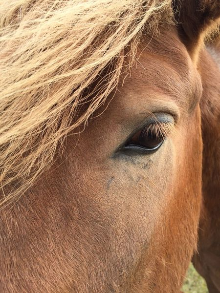 Icelandic horse Horse Domestic Animals One Animal Livestock Brown Animal Themes Mammal Portrait Day Close-up Eyelash Adult Outdoors Iceland Iceland_collection Jim Wiltschko EyeEm Best Shots Blond Hair
