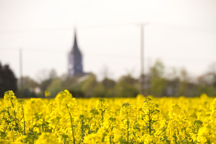 Rapsfeld Idylle, NRW Deutschland / Canola Flowerfield idyll, North Rhine-Westphalia Germany Abundance Beauty In Nature Blooming Blossom Church In Background Close-up Day Field Flower Focus On Foreground Fragility Freshness Growth In Bloom Landscape Nature No People Outdoors Plant Rural Scene Selective Focus Sky Tranquil Scene Tranquility Yellow