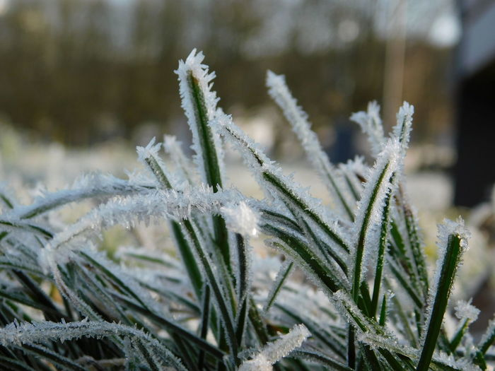 Close-up of frozen plant on field during winter