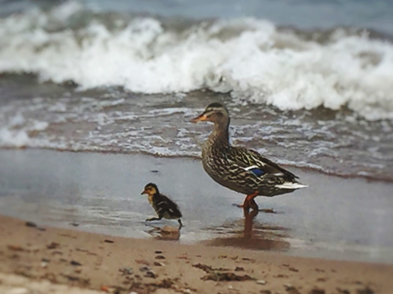 bird, beach, water, nature, animal themes, sea, animals in the wild, sand, no people, day, wave, outdoors, beauty in nature, perching