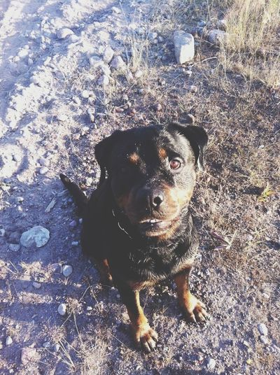 Running Rottweiler Bono Check This Out