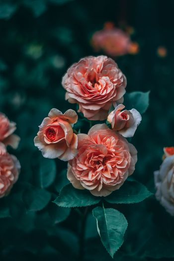 Flower Plant Flowering Plant Beauty In Nature Close-up Flower Head Petal Inflorescence Nature Rosé Plant Part Outdoors Leaf Rose - Flower Focus On Foreground Freshness Vulnerability  Fragility Growth Pink Color