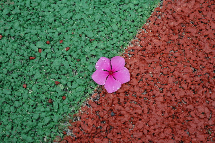 Pink Flower Flower Plant Flowering Plant Beauty In Nature Freshness Petal Vulnerability  Nature Growth High Angle View Fragility No People Plant Part Leaf Flower Head Close-up Inflorescence Pink Color Green Color Outdoors Purple Day