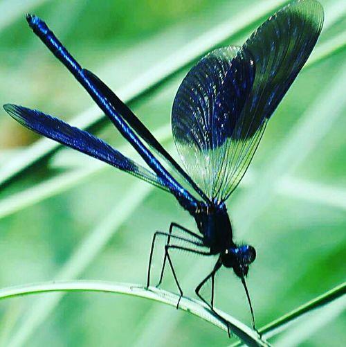Weidebeekjuffer Libelle Dragonfly Macro_collection Eyem Market Eyemphotography Enjoying Life EyeEmBestPics