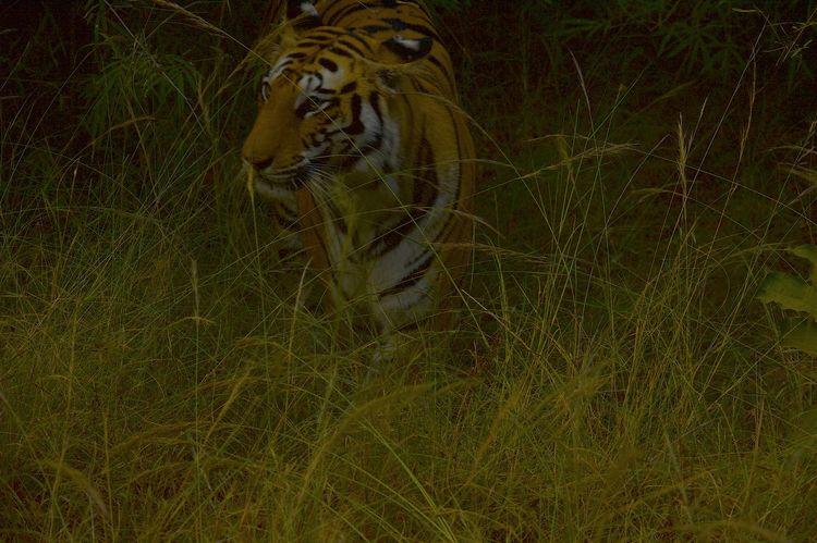 Bandhavgarh Bandhavgarh National Park Animal Themes Animals In The Wild Grass Madhyapradeshtourism Mammal Nature Night No People One Animal Outdoors Tiger