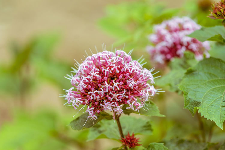 Pink flowered chrysanthemum in the wild. Green Color Local Meadow Sweet Natural Pink Plants Blooming Bunch Of Flowers Criteria For Future Delicate Eautiful Flower Flower Meadow Sweet Flowers Garden Outdoors Powder Of Flowers Purple
