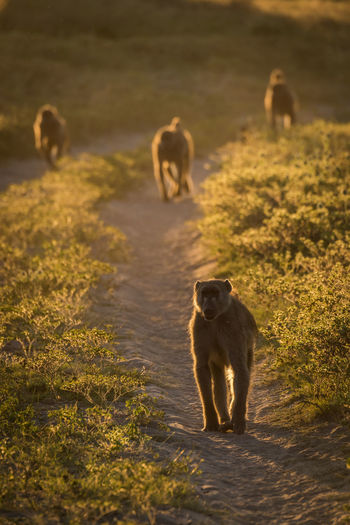 Chacma Baboons On Field During Sunny Day