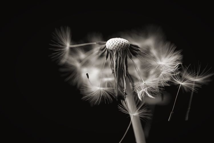 Close-Up Of Dandelion Seeds Against Black Background