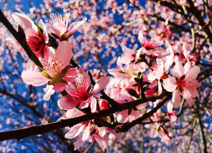 Low angle view of cherry blossoms growing on tree
