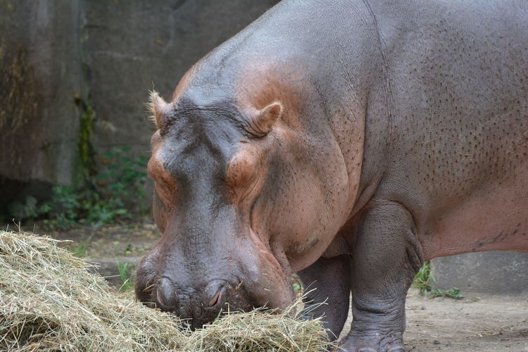Eating Fat Hippo Hippopotamus Milwaukee Zoo Outdoors YumYum Zoology