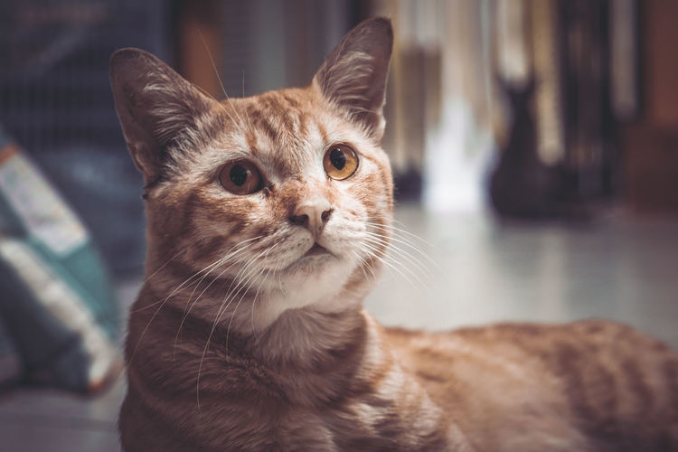 Portrait of ginger cat at home