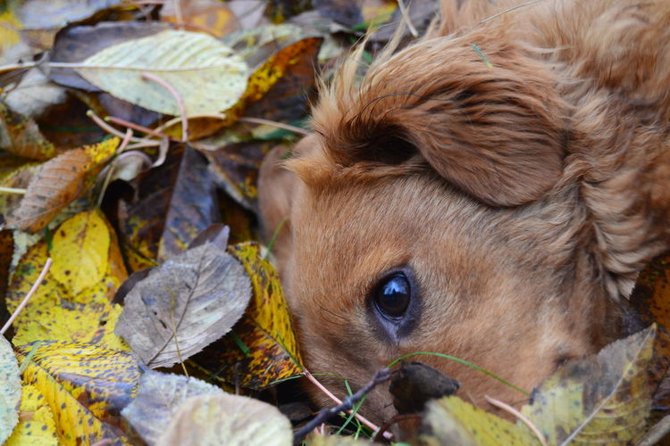 Autumn Big Eyes Brown Dog Games Outside Autumn Colors Games With Dog Just Relax Just Napping I See You Looking With Big Eyes