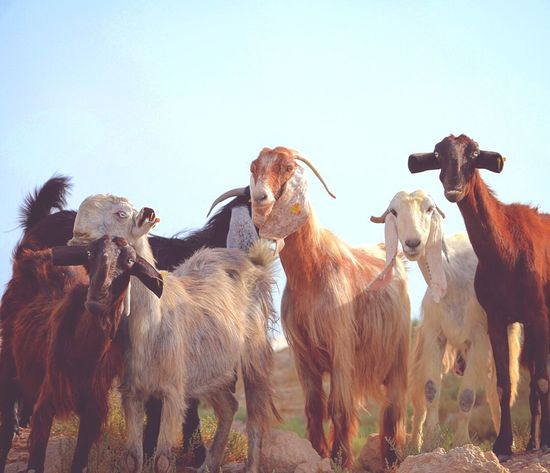 Squad Goals Livestock Domestic Animals Cow Agriculture Cattle Mammal Animal Themes Outdoors Clear Sky No People Nature Day Sky