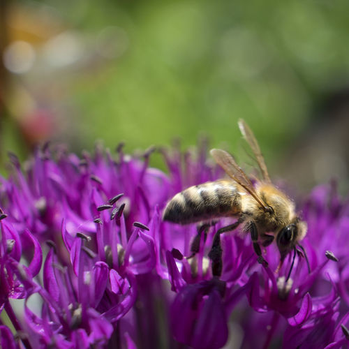 bee Animal Themes Bee Close-up Flower Head Insect Nature Plant Purple
