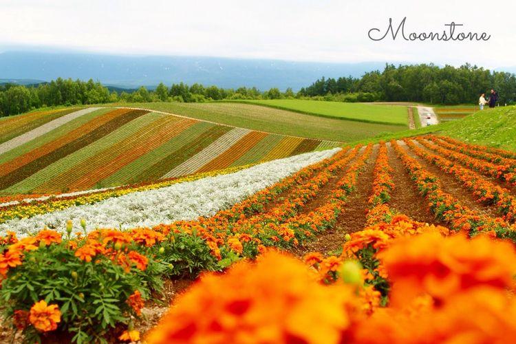 EyeEm Best Shots Colorful EyeEm Nature Lover EyeEm Selects Landscape 2018 四季彩の丘 Field Beauty In Nature Land Flower