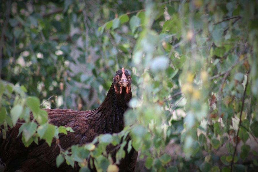 Popular Garden GardenPorn Growth Bird Rhode Island Red Chicken Secret Garden Eyem Birds Showcase: December