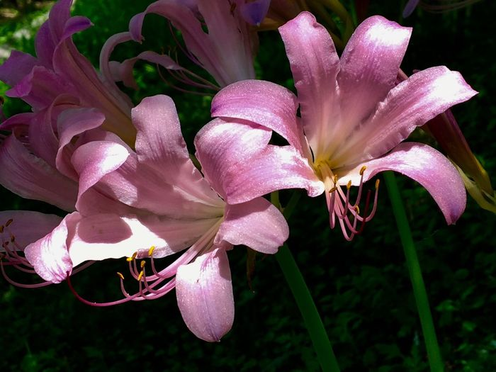 Subject : Two Full-Blown Pink Flowers of Licorice in the Sun. Petal Flower Growth Beauty In Nature Fragility Nature Freshness Flower Head Plant No People Close-up Outdoors Blooming Day Licorice . Taken in Higashi-Hiroshima , on Aug. 13, 2017 ( Submitted on Aug. 20, 2017 )