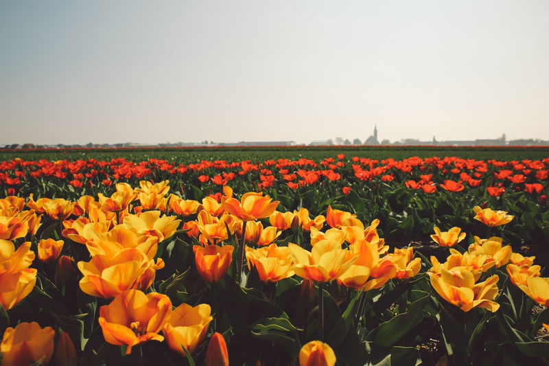 Beauty In Nature Blossom Clear Sky Field Field Flower Flower Head Flowers Fragility Freshness Growth Nature Netherlands No People Outdoors Petal Plant Poppy Rural Scene Sky Spring Summer Sunlight Tranquil Scene Tulips