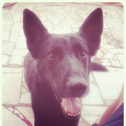 Shaferhunde Pastoretedesco Pastore Ipo dog instadog