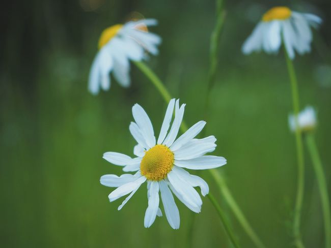 chamomile Flower Nature Summer Day No People Flower Head
